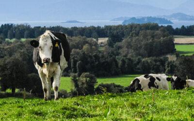 Osornino crea gel a base de cobre chileno que promete eliminar la mastitis bovina